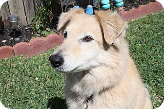Golden Retriever/Border Collie Mix Dog for adoption in Austin, Texas - Hank