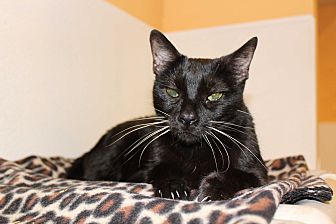 Domestic Shorthair Cat for adoption in Boca Raton, Florida - Solo