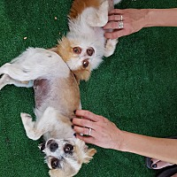 Chihuahua/Pomeranian Mix Dog for adoption in Fountain Valley, California - Molly