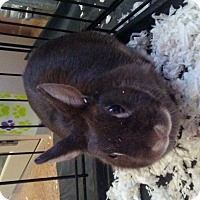 Adopt A Pet :: Pebbles - staten Island, NY