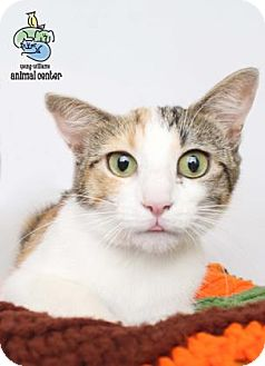 Domestic Shorthair Cat for adoption in Knoxville, Tennessee - Mattie