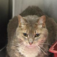 Adopt A Pet :: Tweedle - Pittsford, VT