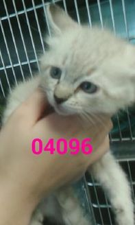 Domestic Shorthair/Domestic Shorthair Mix Cat for adoption in Kiln, Mississippi - CINDERELLA