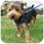 Photo 1 - Yorkie, Yorkshire Terrier/Poodle (Toy or Tea Cup) Mix Dog for adoption in Orange, California - Nelson
