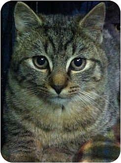 Domestic Shorthair Cat for adoption in Trexlertown, Pennsylvania - Spidey