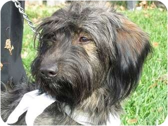 Scottie, Scottish Terrier Mix Dog for adoption in Overland Park, Kansas - Manfred