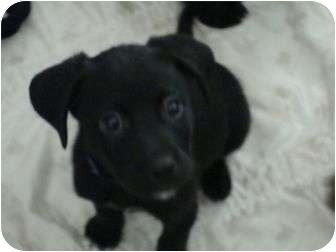 Terrier (Unknown Type, Medium) Mix Puppy for adoption in Phoenix, Arizona - Trace Adkins