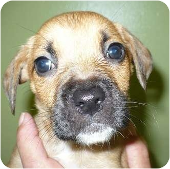 Labrador Retriever/Terrier (Unknown Type, Medium) Mix Puppy for adoption in Eastpoint, Florida - DeeDee