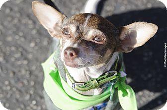 Dachshund/Chihuahua Mix Dog for adoption in Redondo Beach, California - Vinnie