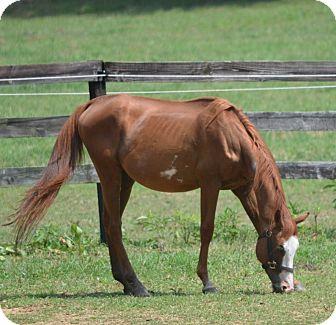 """Quarterhorse/Paint/Pinto Mix for adoption in Waleska, Georgia - Oklahoma """"Okie"""""""