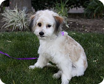 Havanese/Terrier (Unknown Type, Small) Mix Puppy for adoption in Newport Beach, California - MILA
