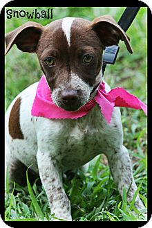 Rat Terrier/Chihuahua Mix Puppy for adoption in Cranford, New Jersey - Snowball