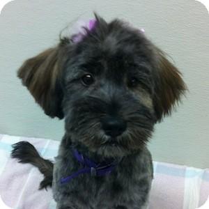 Petit Basset Griffon Vendeen Mix Dog for adoption in Gilbert, Arizona - Delilah