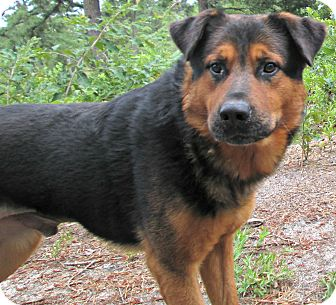 Rottweiler/German Shepherd Dog Mix Dog for adoption in Forked River, New Jersey - Sorin