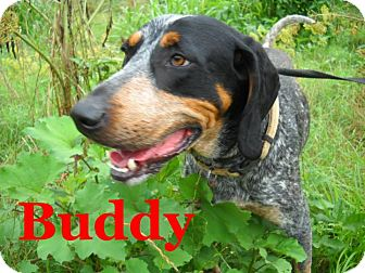 Bluetick Coonhound Dog for adoption in Portland, Maine - Buddy
