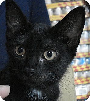 American Shorthair Kitten for adoption in Brooklyn, New York - Judge