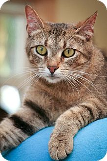 Domestic Shorthair Kitten for adoption in Anderson, Indiana - Cupcake