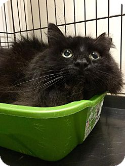 Domestic Mediumhair Cat for adoption in Webster, Massachusetts - Bushy