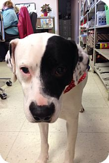 Dalmatian/American Bulldog Mix Dog for adoption in Hagerstown, Maryland - Petey