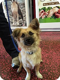 Corgi/Sheltie, Shetland Sheepdog Mix Puppy for adoption in Las Vegas, Nevada - Miles
