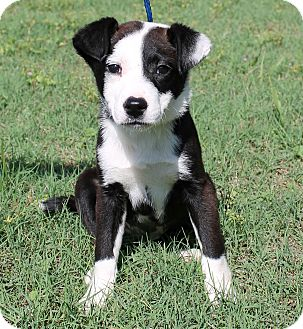 Border Collie Mix Puppy for adoption in Foster, Rhode Island - Dicey (POM-Dols)
