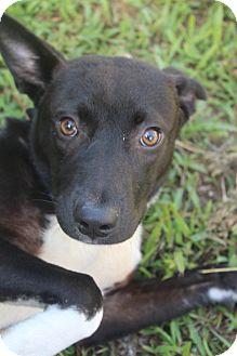 Border Collie Mix Dog for adoption in Waldorf, Maryland - Raven