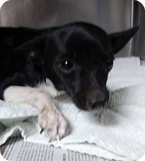 Chihuahua Mix Puppy for adoption in Taylorsville, Utah - Ace