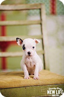 Boston Terrier/Pit Bull Terrier Mix Puppy for adoption in Portland, Oregon - Flea