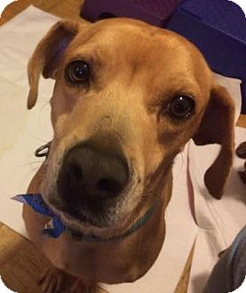 Black Mouth Cur Mix Dog for adoption in Brooklyn, New York - Nibbles