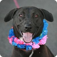 Adopt A Pet :: Kahlua - Canoga Park, CA