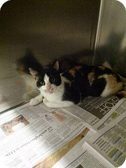 Domestic Shorthair Cat for adoption in Northfield, Ohio - Pandora