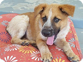 Australian Cattle Dog/Shepherd (Unknown Type) Mix Puppy for adoption in Las Cruces, New Mexico - Murray
