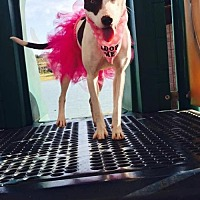 Whippet/Whippet Mix Dog for adoption in Maricopa, Arizona - Lyric