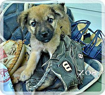 Australian Shepherd/German Shepherd Dog Mix Puppy for adoption in The Woodlands, Texas - Sox