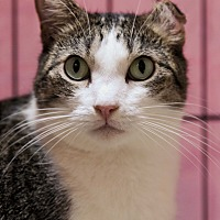 Domestic Shorthair Cat for adoption in Encino, California - Erin