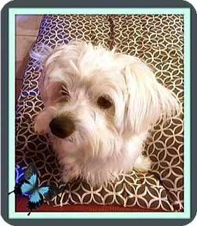 Westie, West Highland White Terrier/Maltese Mix Dog for adoption in West Los Angeles, California - Clancy