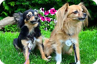 Chihuahua/Papillon Mix Dog for adoption in Ottawa, Ontario - Petey and Daisy (Bonded Pair)