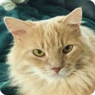 Domestic Longhair Cat for adoption in Medford, Massachusetts - Patrice