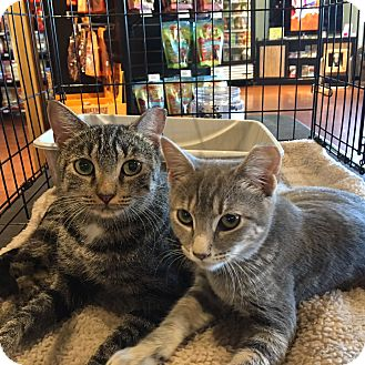 Domestic Shorthair Kitten for adoption in Horsham, Pennsylvania - Tia