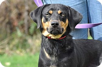 Rottweiler/Hound (Unknown Type) Mix Dog for adoption in Lisbon, Ohio - Gretchen