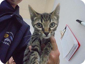 Domestic Shorthair Kitten for adoption in Livonia, Michigan - C20 Litter-Swiper-ADOPTED