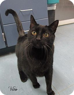 Domestic Shorthair Cat for adoption in Jackson, New Jersey - Vito