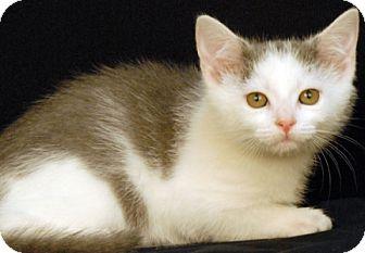 Domestic Shorthair Kitten for adoption in Newland, North Carolina - Dove