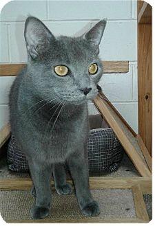 Domestic Shorthair Cat for adoption in Ozark, Alabama - Vincent
