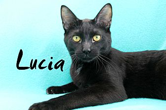 Domestic Shorthair Kitten for adoption in Wichita Falls, Texas - Lucia