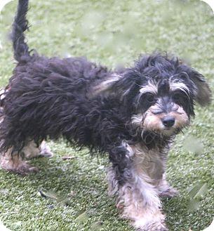 Havanese/Tibetan Terrier Mix Dog for adoption in Norwalk, Connecticut - Hewitt