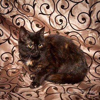 Domestic Shorthair Cat for adoption in Elizabethtown, Pennsylvania - Anna