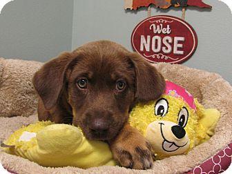 Labrador Retriever Mix Puppy for adoption in Groton, Massachusetts - Angelica
