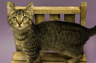 Domestic Shorthair Kitten for adoption in Plano, Texas - HARRY - BOTTLE BABY LOVERBOY!!