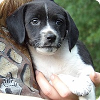 Rat Terrier/Beagle Mix Puppy for adoption in Twinsburg, Ohio - Falcon (4 lb) Video